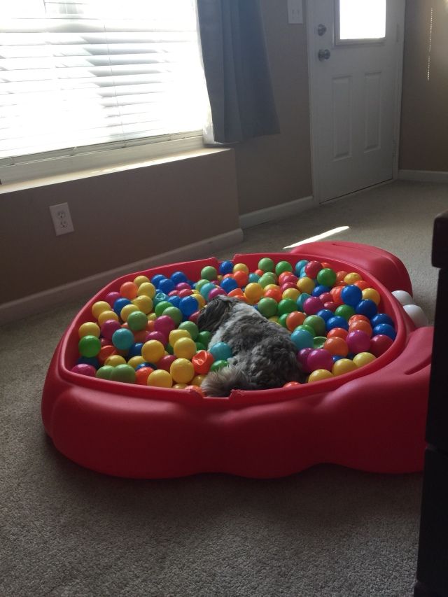 image of Shih Tzu in a toy crab-shaped ball pit